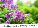 Summer Lilac Flowers Bush...