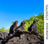 marine iguanas basking in the... | Shutterstock . vector #175247951