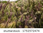 Green And Purple Grass Spikes...