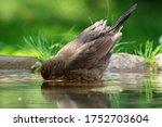 Young Blackbird  Turdus Merula...