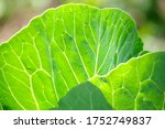 Cabbage Leaves Illuminated By...