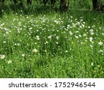 A Meadow Of Oxeye Daisy...