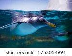 Penguin Swimming In Water Tank. ...