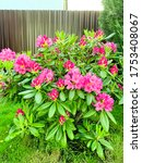 Rhododendron Bush Blooming With ...