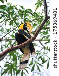 a great pied hornbill sits on a ... | Shutterstock . vector #175369481