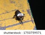 White Eyes Horsefly  Tabanidae...