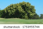 Big Tree On The Golf Course...