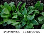 Green Spinach In The Garden. ...