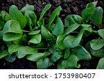 Green Spinach In The Garden. ...