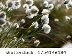 cotton grass close up in spring in germany