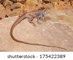 Small photo of Northern (Plateau or Painted Desert) Whiptail Lizard, Aspidoscelis (Cnemidophorus) tigris septentrionalis - one of North America's fastest lizards