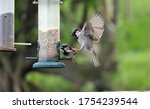 House Sparrow Fighting At A...