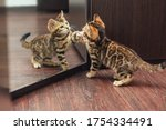 Little Cute Curious Bengal...