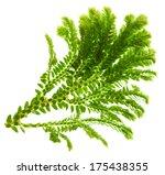 selaginella  florist tropical...   Shutterstock . vector #175438355