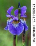 Iris Flower On A Green Natural...