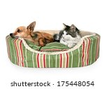 Stock photo a cute kitten and a chihuahua on a striped pet bed 175448054