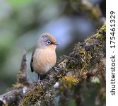 Small photo of The Spectacled Barwing (Actinodura ramsayi) is a species of bird in the Timaliidae family. It is found in Thailand.