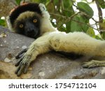 A Lemur Looking Into The Camer...