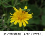 Dandelion Flower With  Rose...