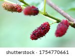 Fresh Ripe Mulberry Berries On...