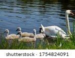 Gray  Fluffy Goslings Swim Near ...