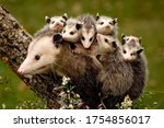 Opossums. A Family Of Possums....