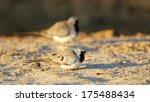 male namaqua dove on ground ... | Shutterstock . vector #175488434
