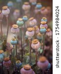 Colourful Poppy Seed Pods After ...