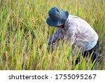 thai farmer harvesting rice in... | Shutterstock . vector #1755095267