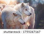 Arctic Wolf  Canis Lupus...