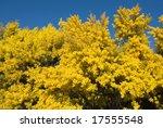 A Wattle Bush  In Full Spring...