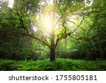 An Ancient Sorcerer Oak Tree...
