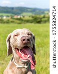 Weimaraner On A Hot Day In The...
