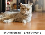 grey cat eyes contact close up... | Shutterstock . vector #1755999041