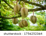 Durians On The Durian Tree In...