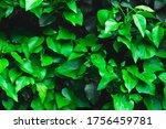 Fresh Green Ivy Leaves As...