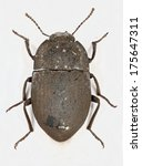Small photo of Preserved entomological beetle specimen of Asida Sp. From a University collection.