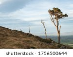 Three windswept trees on side of mountain