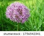 purple inflorescence ornamental ...