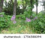 Purple Decorative Garlic...