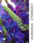 macro lupines fresh and vibrant ... | Shutterstock . vector #1756602317