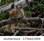 Closeup Of Isolated Chipmunk...