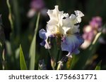 Beautiful Iris Flower In The...