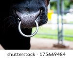 Closeup Of A Cow Nose With Ring.