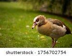 Beautiful Egyptian Goose  Duck  ...
