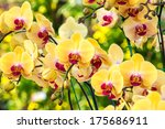 Beautiful Yellow Orchid Flower...