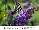 Zebra Swallowtail Feeding On...