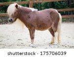 Shetland Pony Horse