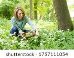 Woman Picking Wild Garlic In...