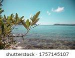 Closeup Of Olive Tree Leaves ...